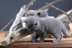 Portrait of British Shorthair kitten playing among branches. British Shorthair kittens climbing on branches of tree, tree trunk Stock Photography