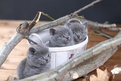 Portrait of British Shorthair kitten playing among branches. British Shorthair kittens climbing on branches of tree, tree trunk Stock Photo