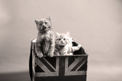 British Shorthair kittens Royalty Free Stock Photos