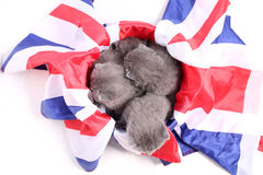 British Shorthair kittens cuddling in a UK flag. Cute British Shorthair kittens sitting together in a Union Jack flag Stock Photography