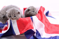 British Shorthair kittens cuddling in a UK flag. Cute British Shorthair kittens sitting together in a Union Jack flag Stock Image