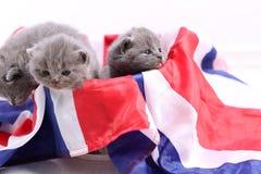 British Shorthair kittens cuddling in a UK flag Stock Image