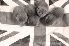 British Shorthair kittens cuddling in a UK flag. Cute British Shorthair kittens sitting together in a Union Jack flag Royalty Free Stock Image