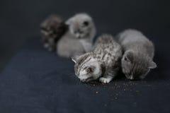 British Shorthair kittens eating Royalty Free Stock Photos