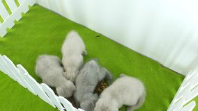 British Shorthair kittens eating on a green rug