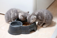 British Shorthair kittens Royalty Free Stock Photography