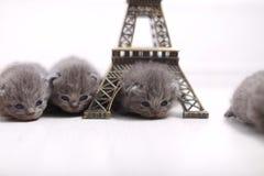 British Shorthair kittens and Eiffel Tour Royalty Free Stock Photos