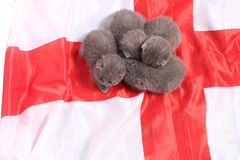British Shorthair kittens and England flag Stock Photos