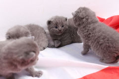 British Shorthair kittens and England flag Royalty Free Stock Images
