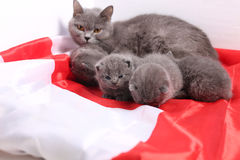British Shorthair kittens and England flag Stock Images