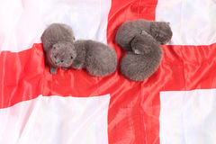 British Shorthair kittens and England flag Royalty Free Stock Photography