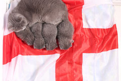 British Shorthair kittens and England flag Stock Image