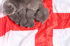 British Shorthair kittens and England flag Stock Photo
