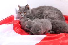 British Shorthair kittens and England flag Stock Photography