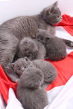 British Shorthair kittens and England flag Royalty Free Stock Photos