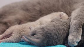 British Shorthair kittens fighting for milk stock footage