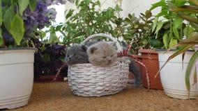 British Shorthair kittens among flowers stock footage