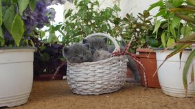 British Shorthair kittens among flowers. Small kittens among on the balcony among pots of flowers stock video footage