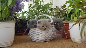 British Shorthair kittens among flowers. Small kittens among on the balcony among pots of flowers stock video