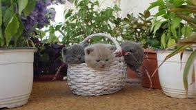 British Shorthair kittens among flowers stock video