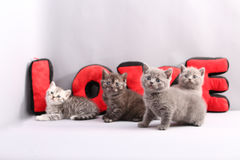 British Shorthair kittens full portrait Stock Images
