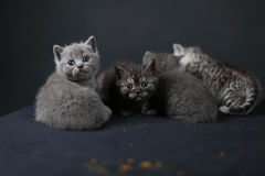 British Shorthair kittens full portrait Royalty Free Stock Photos