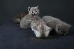 British Shorthair kittens full portrait Royalty Free Stock Images