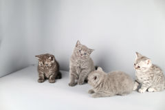 British Shorthair kittens full portrait Stock Photography
