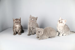 British Shorthair kittens full portrait Stock Photos