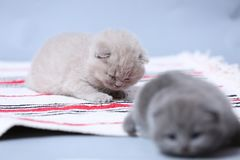 British Shorthair kittens sitting on the carpet. British Shorthair kittens on a handmade rug, cute face looking up Stock Photos
