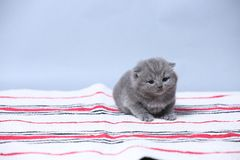 British Shorthair kittens sitting on the carpet. British Shorthair kittens on a handmade rug, cute face looking up Stock Photo