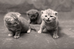 British Shorthair kittens isolated Royalty Free Stock Image
