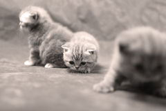 British Shorthair kittens isolated Stock Image