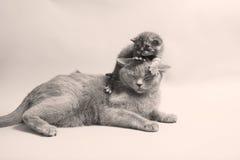 British Shorthair kittens Stock Image