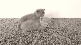 British Shorthair kittens lying on a soft carpet stock video footage