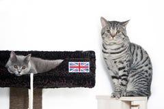 British Shorthair kittens Stock Images
