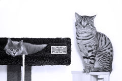 British Shorthair kittens Royalty Free Stock Photo