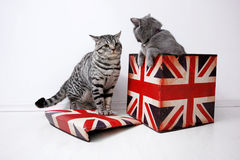 British Shorthair kittens Royalty Free Stock Images