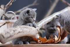 British Shorthair kittens meow among branches. British Shorthair kittens playing among branches of tree, tree trunk Royalty Free Stock Image