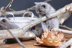 British Shorthair kittens meow among branches. British Shorthair kittens playing among branches of tree, tree trunk Royalty Free Stock Photography