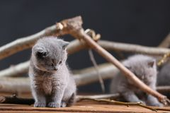 British Shorthair kittens meow among branches. British Shorthair kittens playing among branches of tree, tree trunk and green leaves Stock Image