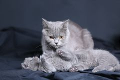 Small kittens play in the dark,  portrait Stock Photo