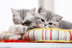 British shorthair kittens napping Stock Photo