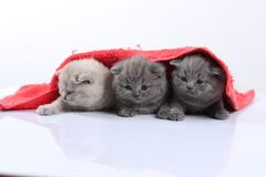 Small kittens in red towel royalty free stock photo