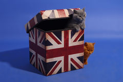 British shorthair Royalty Free Stock Photos