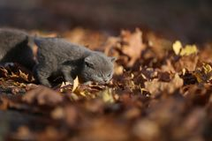 British Shorthair kittens walk among leaves Royalty Free Stock Images