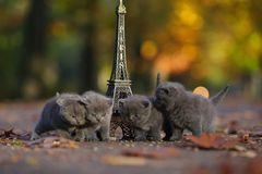 British Shorthair kittens and Tour Eiffel. British Shorthair kittens playing among autumn leaves and Tour Eiffel in Paris, France Royalty Free Stock Photos