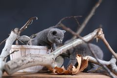British Shorthair kittens playing among branches. British Shorthair kittens climbing on branches of tree, tree trunk and green leaves Stock Image