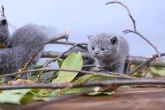British Shorthair kittens climbing on branches. British Shorthair kittens playing among branches of tree, tree trunk and green leaves Royalty Free Stock Photo