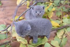 British Shorthair kittens climbing on branches. British Shorthair kittens playing among branches of tree, tree trunk and green leaves Royalty Free Stock Photography